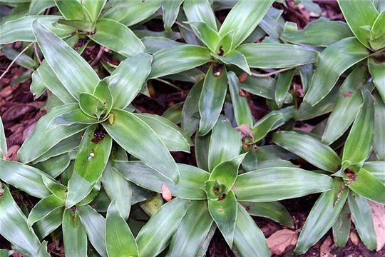 Kalisia voňavá -Callisia fragrans