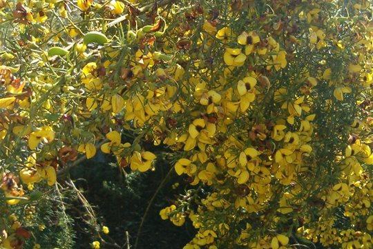 Voňavý medový krík - Honeybush